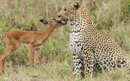 Antilopa që kërkon të miqësohet me leopardin
