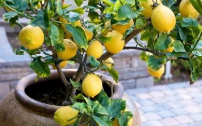 Druri i limonit dekorativ dhe i dobishëm