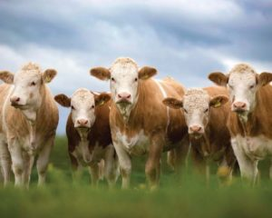 Bujanoc:Më 1 Tetor ekspozita e lopëve sentimentale